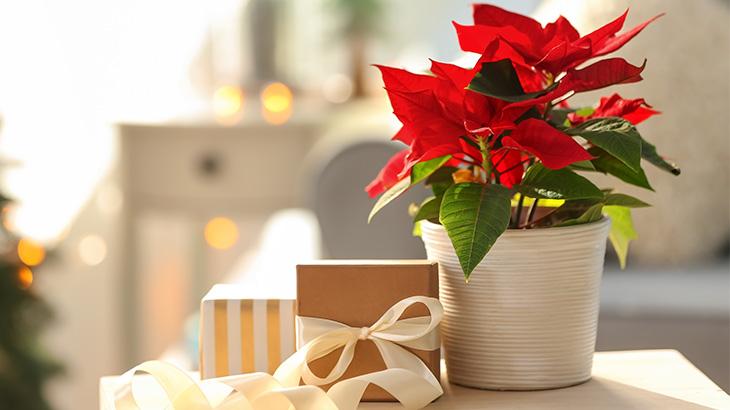 Plantas navideñas